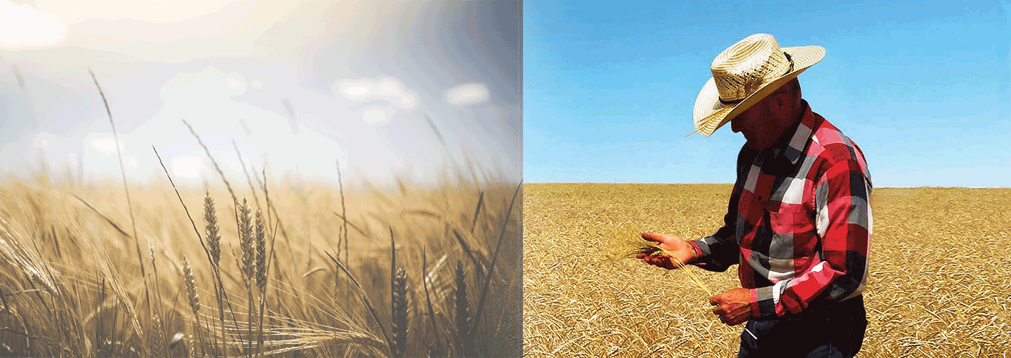 Image - A Quest to Revive Ancient Wheat