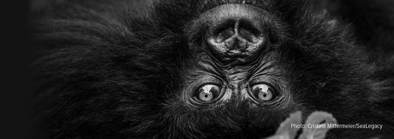 Image - simian