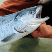 Image - Is There Hope for the Last Wild Salmon Runs of the Pacific Rim?